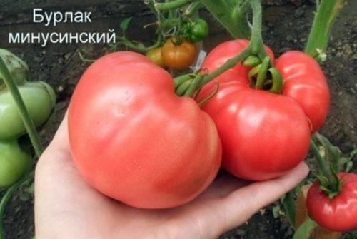 Минусинские помидоры: описание и характеристика сортов