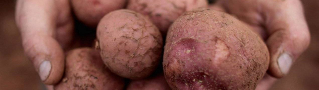 Характеристика картофеля Лабелла