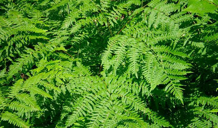 Виды папоротников: описание каждого вида, особенности, выращивание и уход