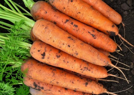 Морковь шантенэ 2461 — описание сорта, фото, отзывы, посадка и уход