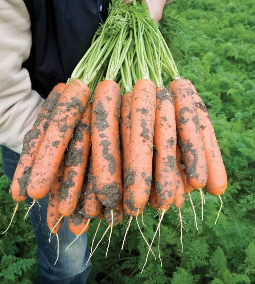 Морковь балтимор f1 — описание сорта, фото, отзывы, посадка и уход
