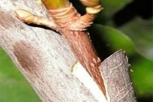 Прививка персика на сливу