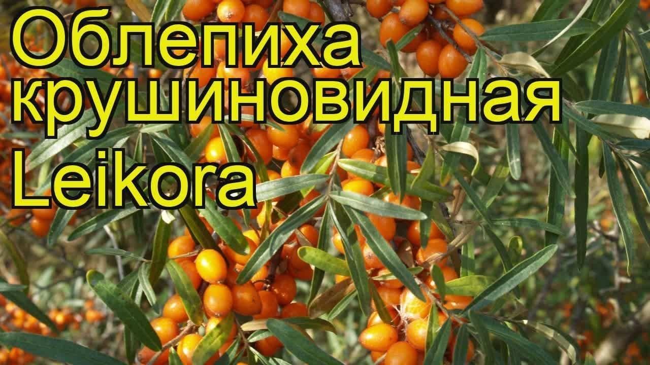 Облепиха крушиновидная - выращивание, уход и применение
