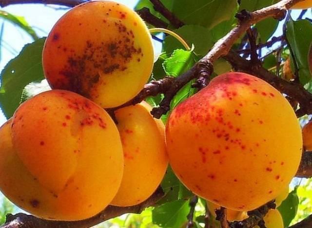 Описания болезней и вредителей абрикосового дерева