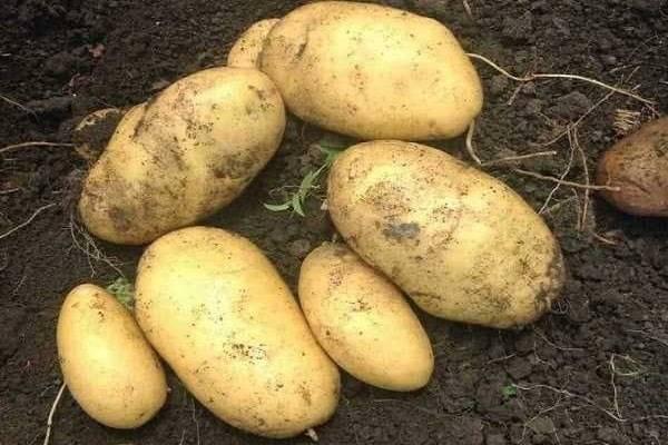 Картофель уладар описание сорта