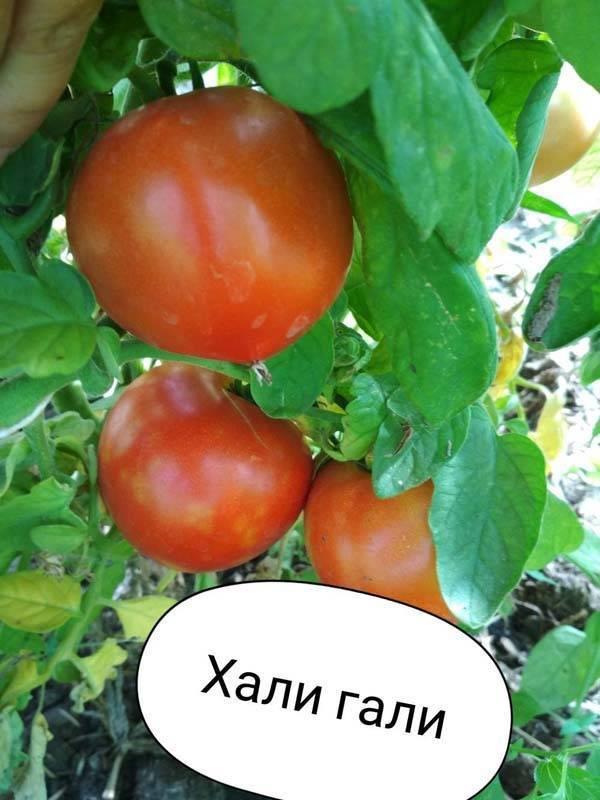 Хали-гали — томат задорной формы с вкусным содержимым