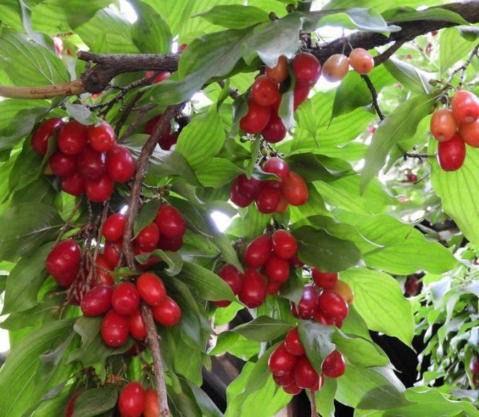 Лечение геморроя ягодами кизила