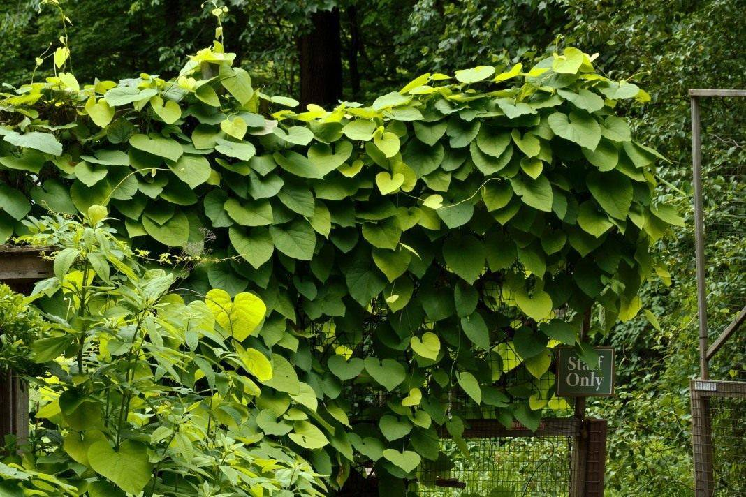 Трава кирказон где растет и когда собирать. кирказон обыкновенный–лечебные свойства и применение в народной медицине. кирказон ломоносовидный: лечебные свойства