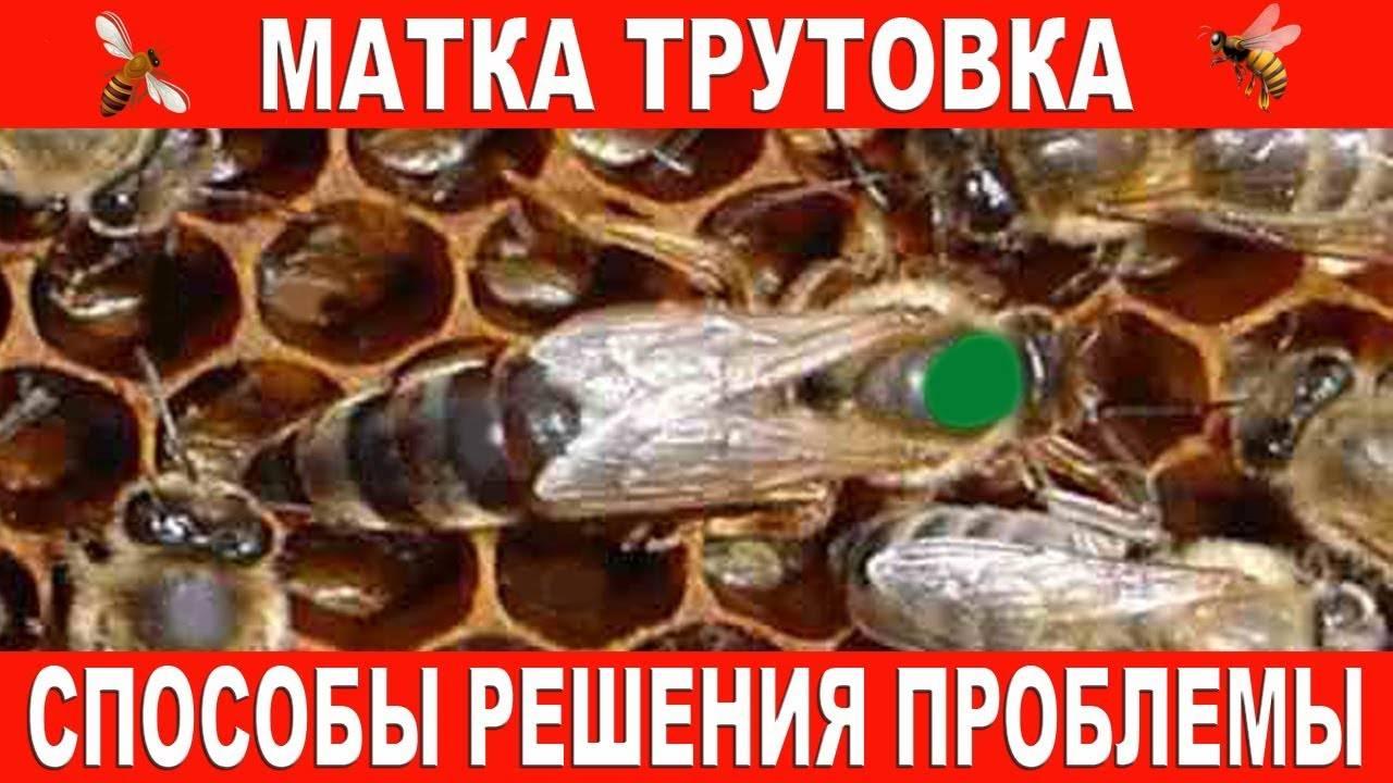 Кто такие пчелы трутовки и чем они опасны?