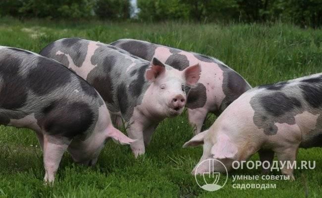 Порода свиней пьетрен – характеристика, стандарты, продуктивность 2020