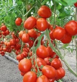Описание гибридного томата бенито f1 и советы по выращиванию сорта