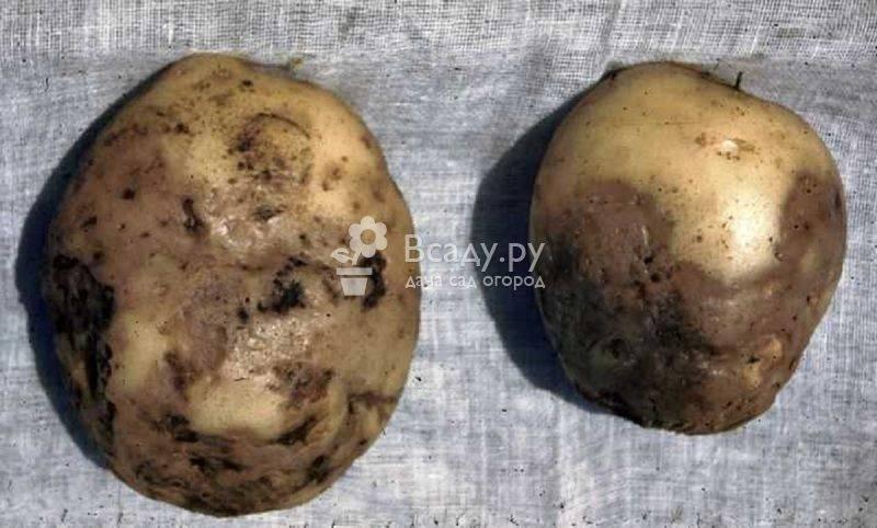 Фитофтора, фитофтороз картофеля, как бороться с опасной болезнью