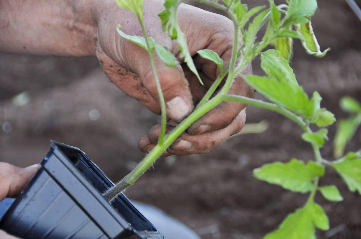 Что делать, если черная ножка у помидор: меры борьбы