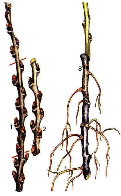 Облепиха: посадка и уход, размножение, выращивание