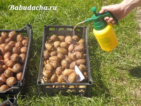 Как можно избавиться от проволочника на картофельном участке – способы борьбы