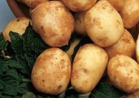 Картофель Киви: характеристика сорта, отзывы