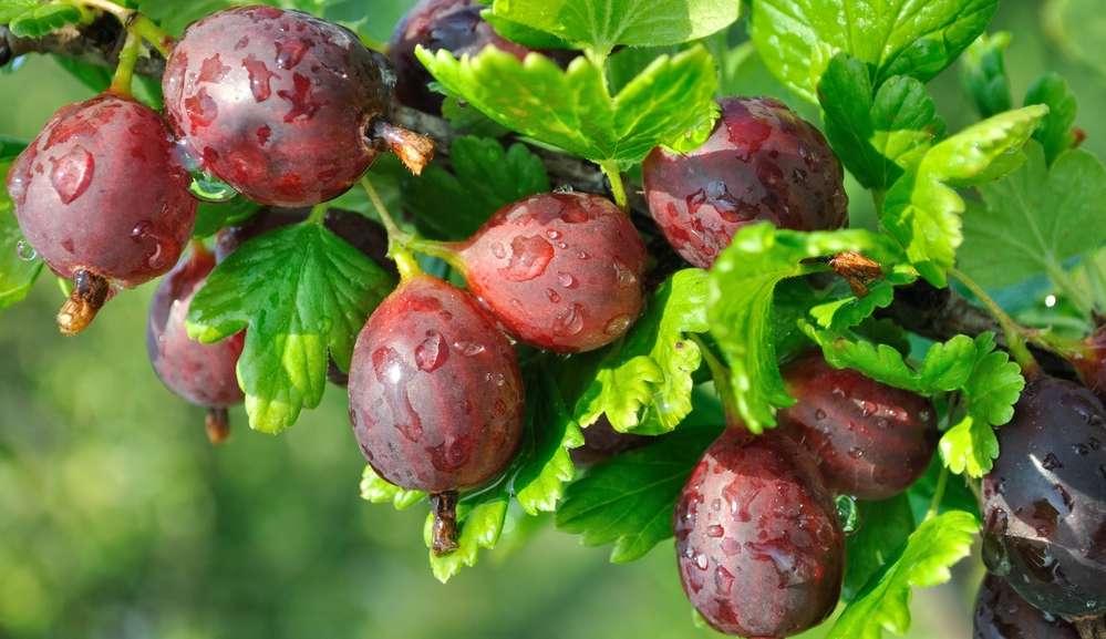 Штамбовый крыжовник — подбор сорта и выращивание