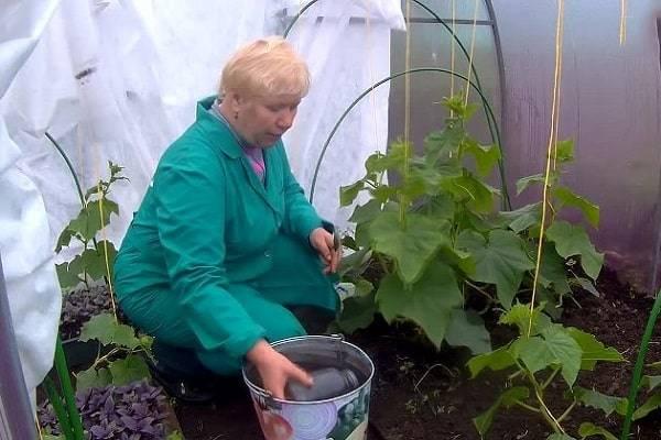 Выращивание огурцов в теплице в подмосковье: лучшие сорта и сроки посадки