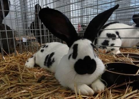 Описание и особенности разведения кролика породы ризен
