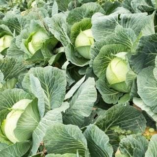 Описание и особенности выращивания капусты сб-3 f1