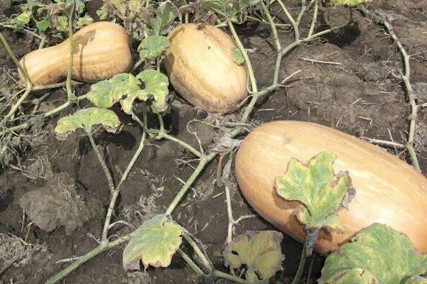 Тыква витаминная – позднеспелый сорт с высоким содержанием каротина