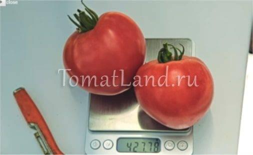 Описание и правила выращивания раннеспелого томата розовый спам