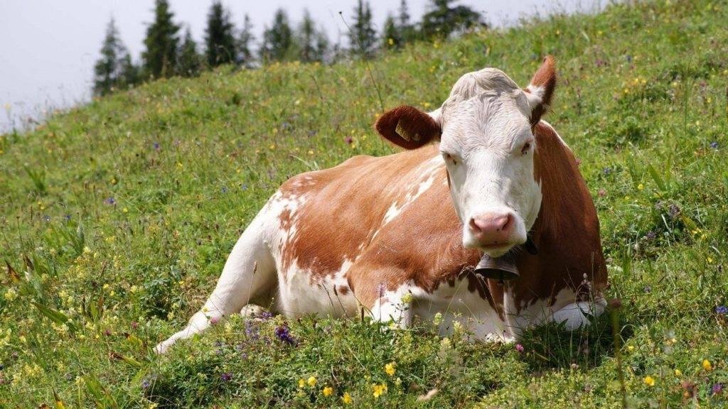 Что такое кетоз? почему он развивается у коров? методы диагностики и профилактики
