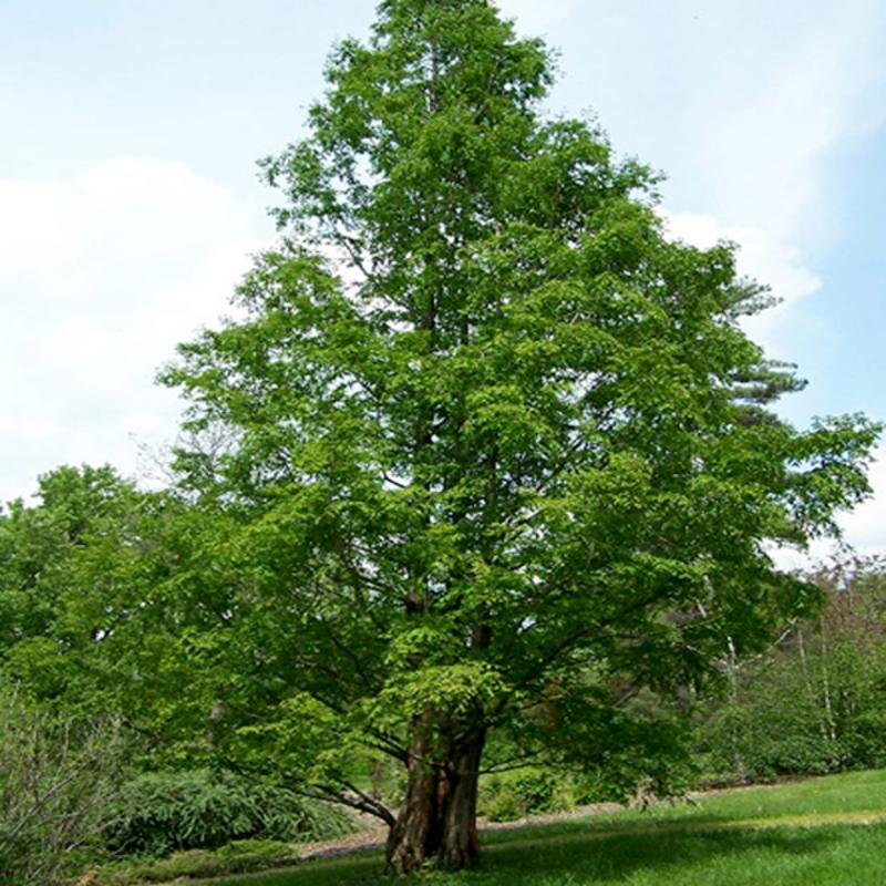 Уникальное дерево лиственница: фото листьев, особенности выращивания