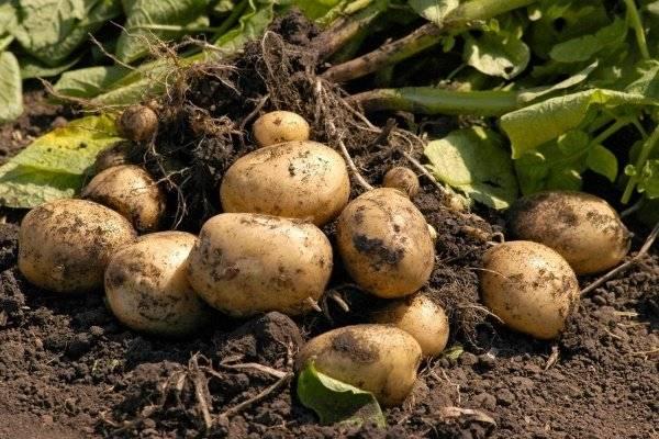Картофель лорх: описание и особенности выращивания сорта