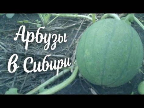 Посев семян арбуза на рассаду для выращивания в открытом грунте