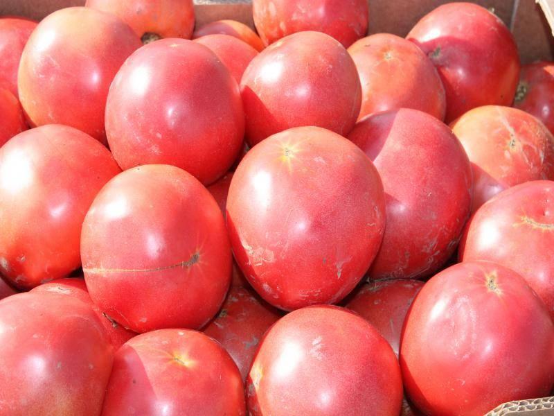 Сорт томата фатима