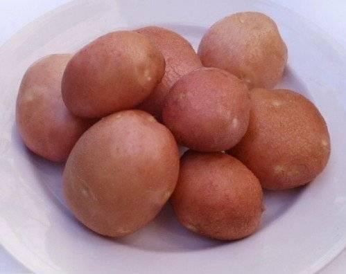 Характеристика картофеля славянка