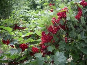Смородина ненаглядная: описание сорта и его фото, выращивание и уход