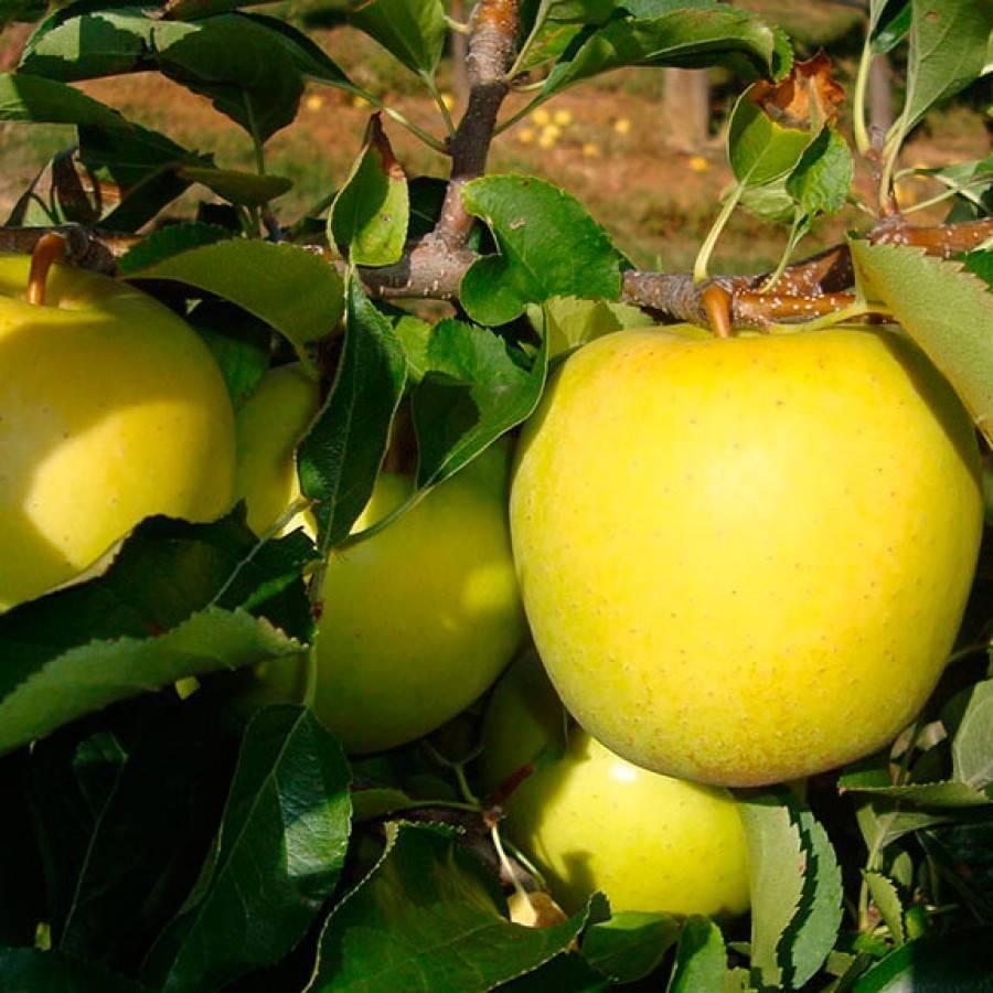 Сорт яблони Голден Делишес: фото, опылители