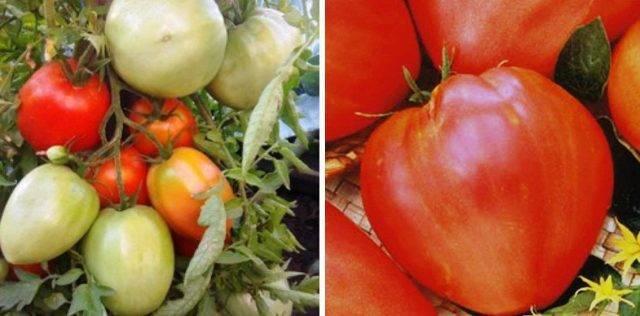 Крупнопдлодный сорт томата «сахарный гигант» для южных регионов: описание, характеристика, посев на рассаду, подкормка, урожайность, фото, видео и самые распространенные болезни томатов
