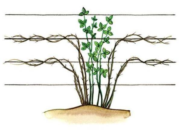 Как вырастить ежевику в сибири: особенности агротехники