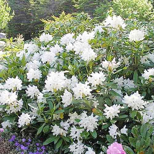 Белоснежный красавец рододендрон каннингемс уайт — описание, подсорта, размножение и уход