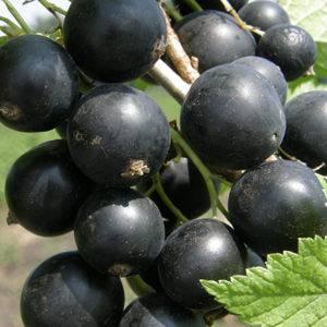Черная смородина: новейшие сорта из мичуринска