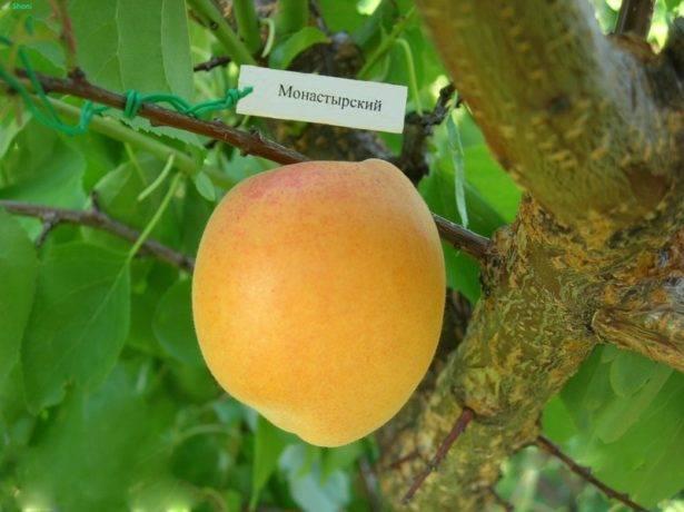 Абрикос графиня: описание сорта, характеристика плодов, выбор места, сроки и схема посадки, правила культивирования, отзывы
