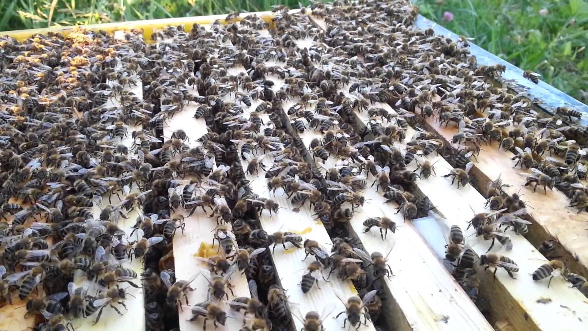 Что такое маточник? как правильно его вырезать и пересадить в новую пчелосемью?