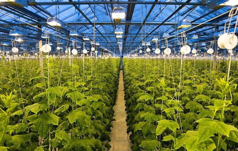 Агротехника выращивания огурцов