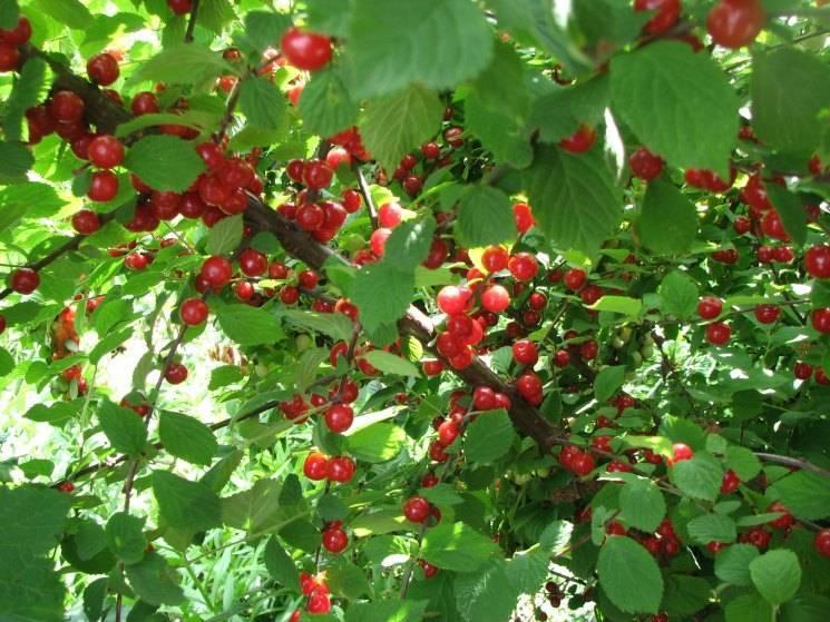 Описание, выращивания и размножение войлочной вишни