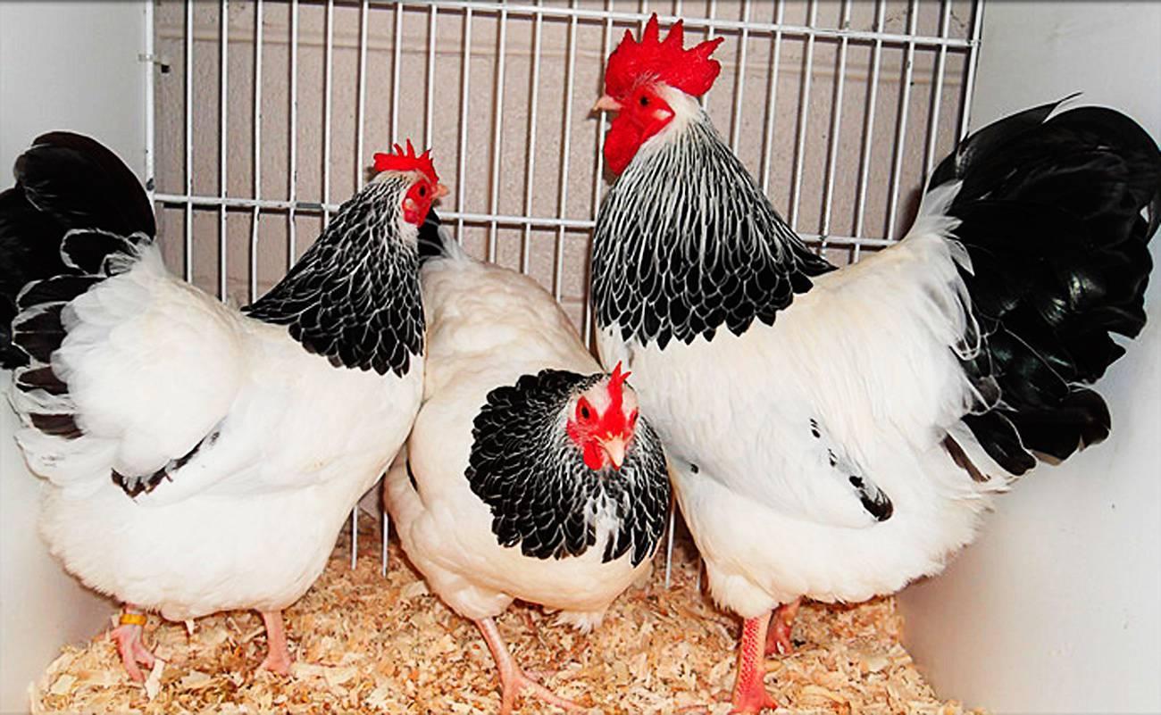 Суссекс порода кур – описание, фото и видео