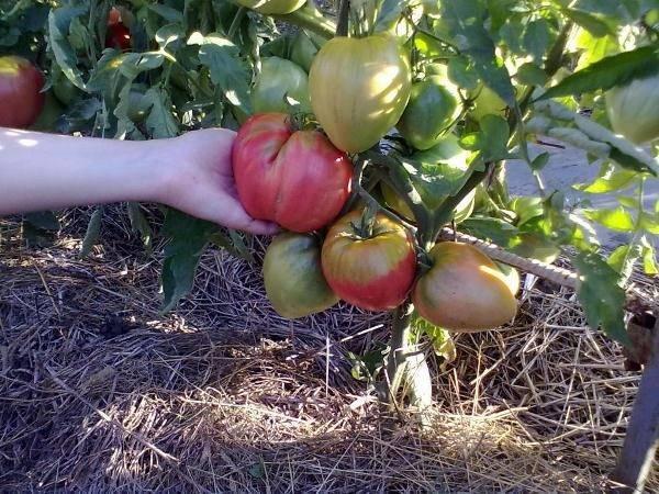 Лучший сорт сибирской селекции томат «вельможа», описание, характеристики, рекомендации