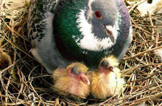 Где можно увидеть птенцов голубей: описание и особенности кормления