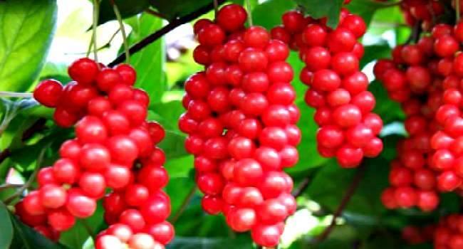Лечебные свойства и противопоказания растения лимонник китайский