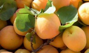 Лучшие сорта абрикоса с описание и фото