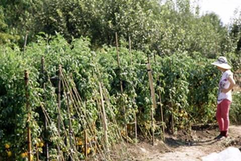Томат пинк парадайз f1: характеристика и описание сорта, отзывы, фото куста, урожайность