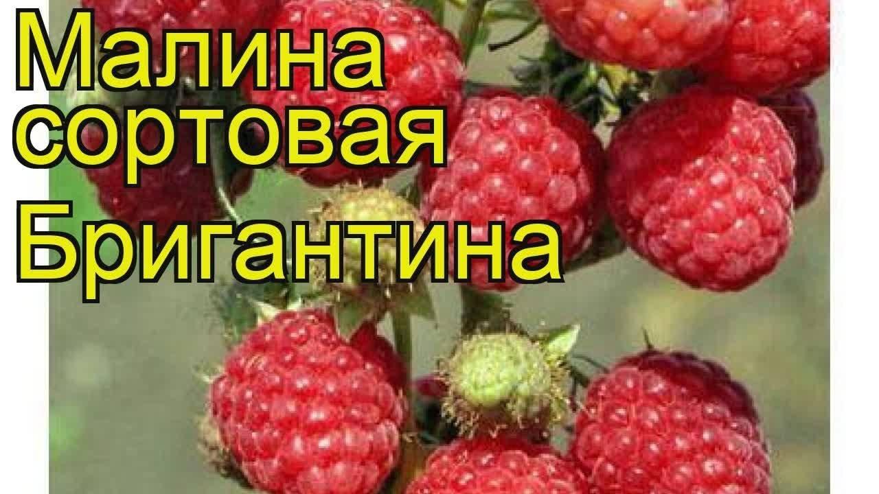Описания лучших сортов малины для россии: вольница, бригантина, метеор, орбита