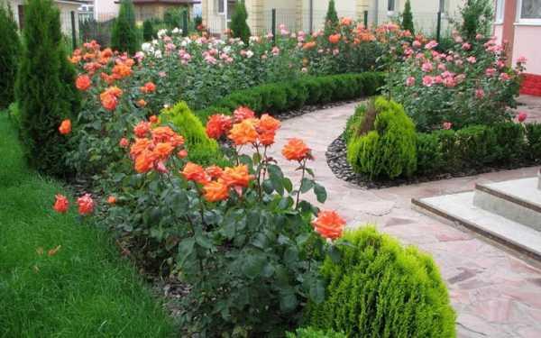 Тамарикс: особенности выращивания и ухода